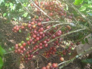 Working Coffee And Fruit Farm