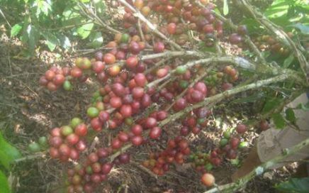 34.5 ACRES – Working Coffee And Fruit Farm With Great Mountain Views!!