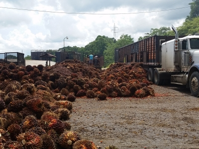 Income Producing Palm Oil